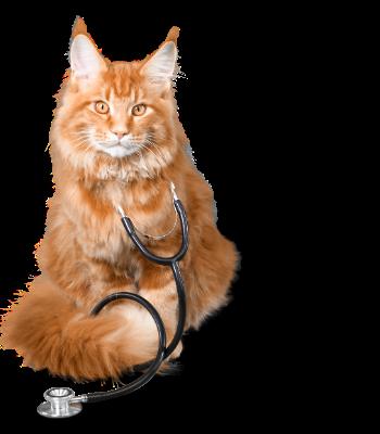 Cat wearing stethoscope